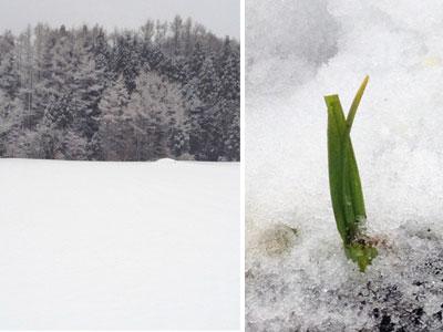 雪の下で育つにんにく